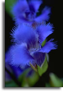 fringed gentian picture 2