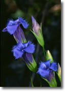fringed gentian picture 3
