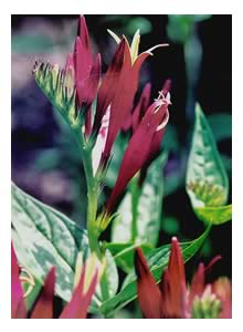 picture of Spigelia, Indian Pink